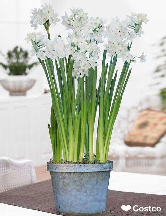 Paperwhites Look Their Best In This Zinc Verdigris Planter 400 x 300