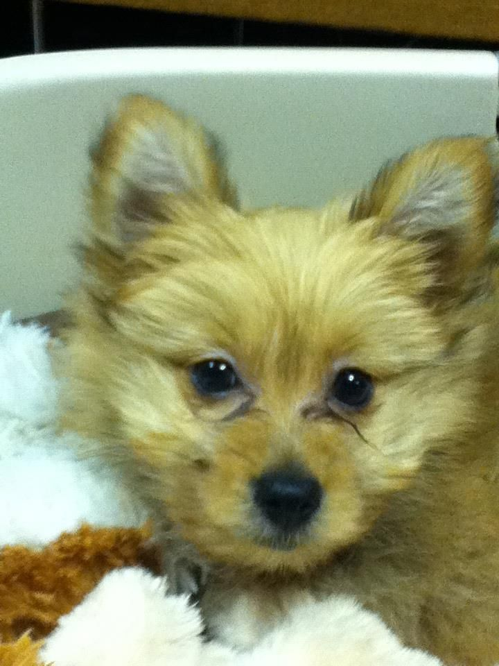 Pomkie Pomeranian And Yorkie Mix Yorkie Mix Puppies Animals