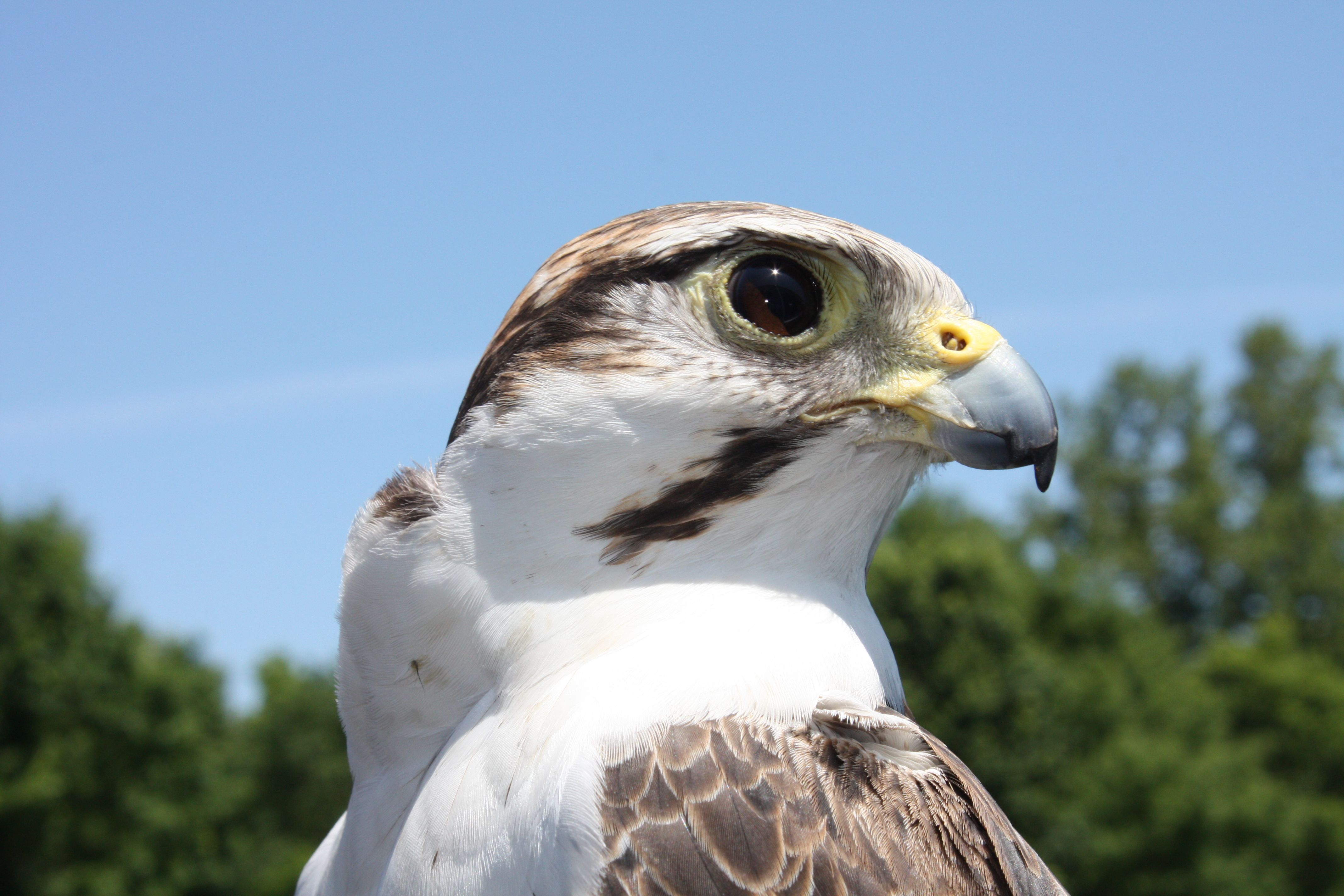 Lagger Falcon From Http Www Salthaven Org On Uwo Campus Bird Photo Animals Eagles