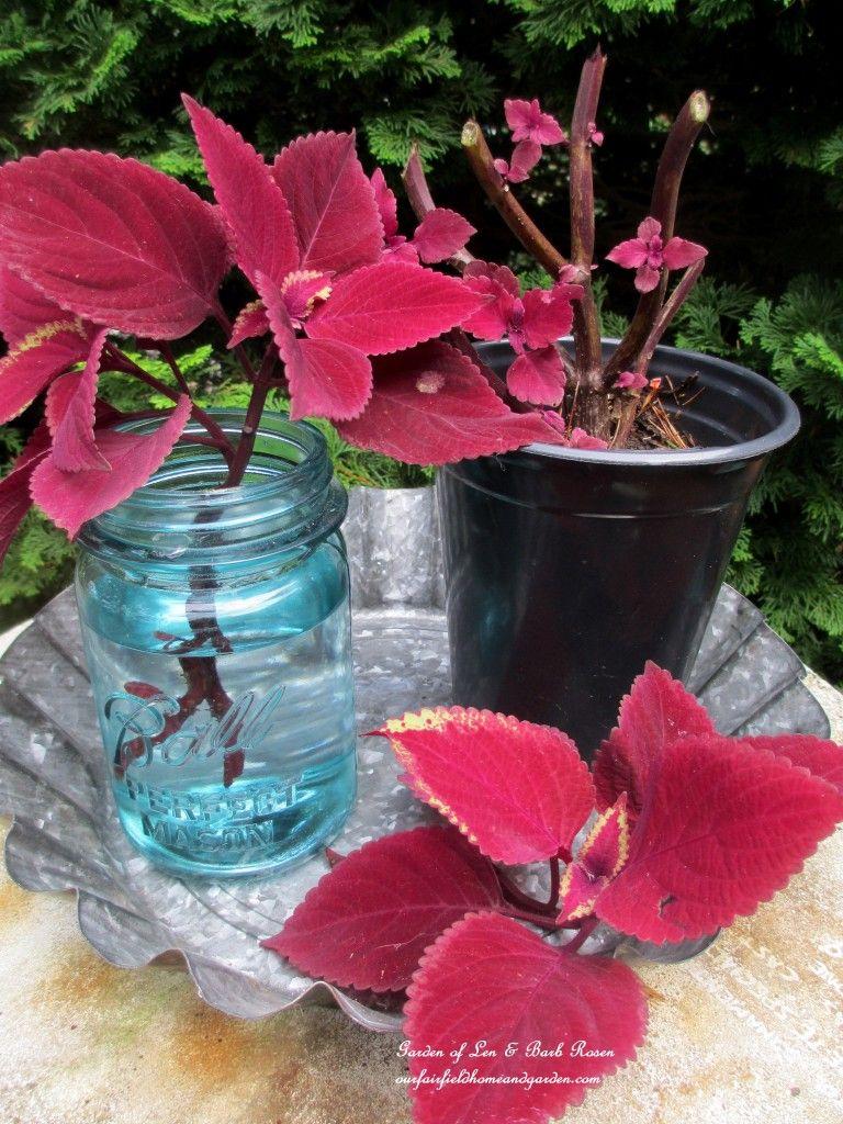 Ahorre dinero! Cortar esquejes de plantas anuales para iniciar nuevas plantas para el jardín del próximo año http://ourfairfieldhomeandgarden.com/diy-tucking-the-garden-in-for-the-winter-at-our-fairfield-home-garden/