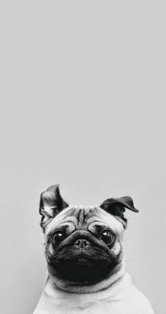 d4b41e5b0ae Tap for see Collection of Cute Pug Dog HD Wallpapers. -  mobile9 Wallpapers  for iPhone 5 5s and iPhone 6 6 Plus.  dog  animals