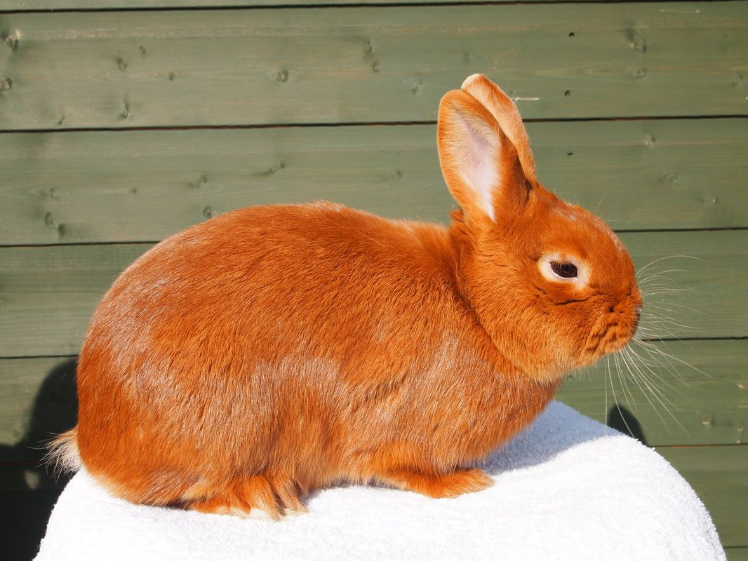photo How to Care for Thrianta Rabbits