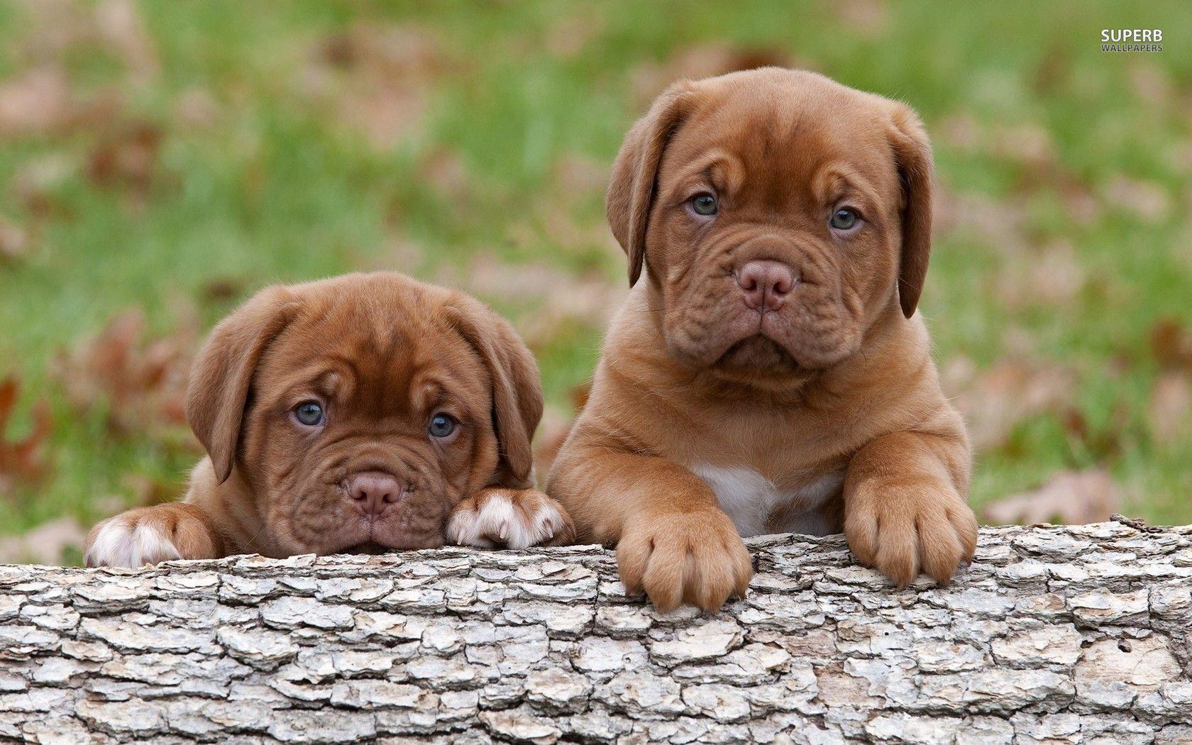 Dogue De Bordeaux Puppies Wallpaper Mastiff Puppies Bordeaux Dog French Mastiff Puppies