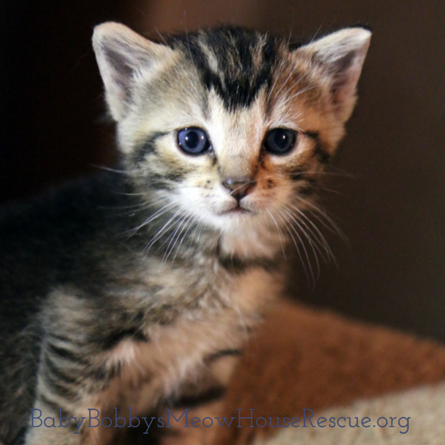 Tigger Is A Tabby Kitten Being Fostered By Our Cat Rescue Katzen