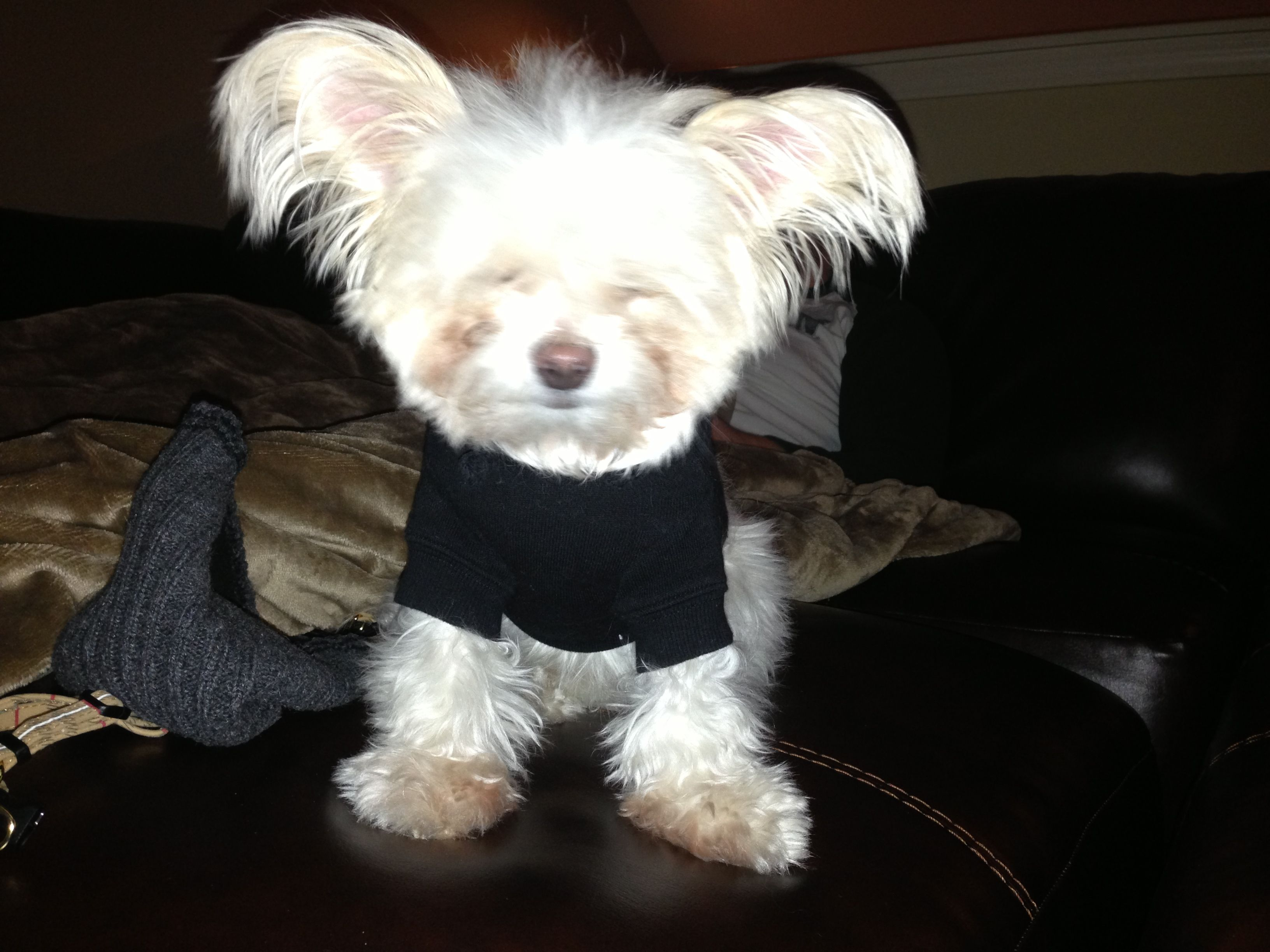 Bruisey In His New Jacket Malchi Puppy Love Puppies Animals Cute Dogs