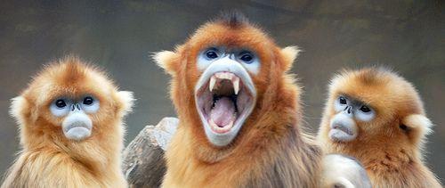 Golden Snub Nosed Monkey Monkey Pet Monkey Snow Monkey