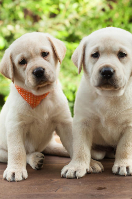 Puppy Labrador In 2020 Labrador Retriever Labrador Puppies