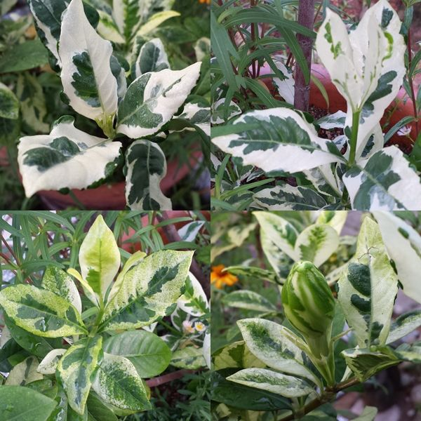Gardenia Jasminoides Variegata With Images Moon Garden Plant