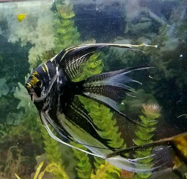 Angel Fish, Aquarium Fish