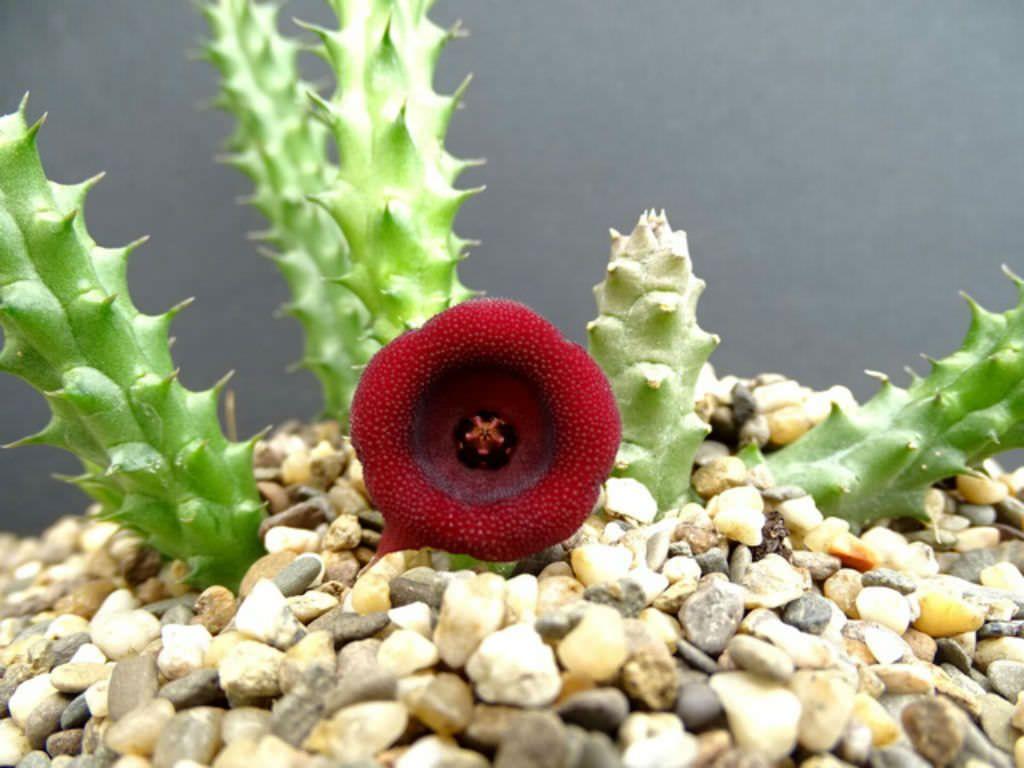 Huernia Aspera With Images Cactus Plants Succulents
