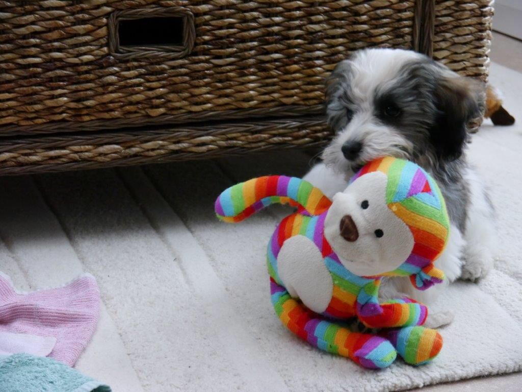 Havanese. YOGI Me and Monkey, my favourite toy! (With