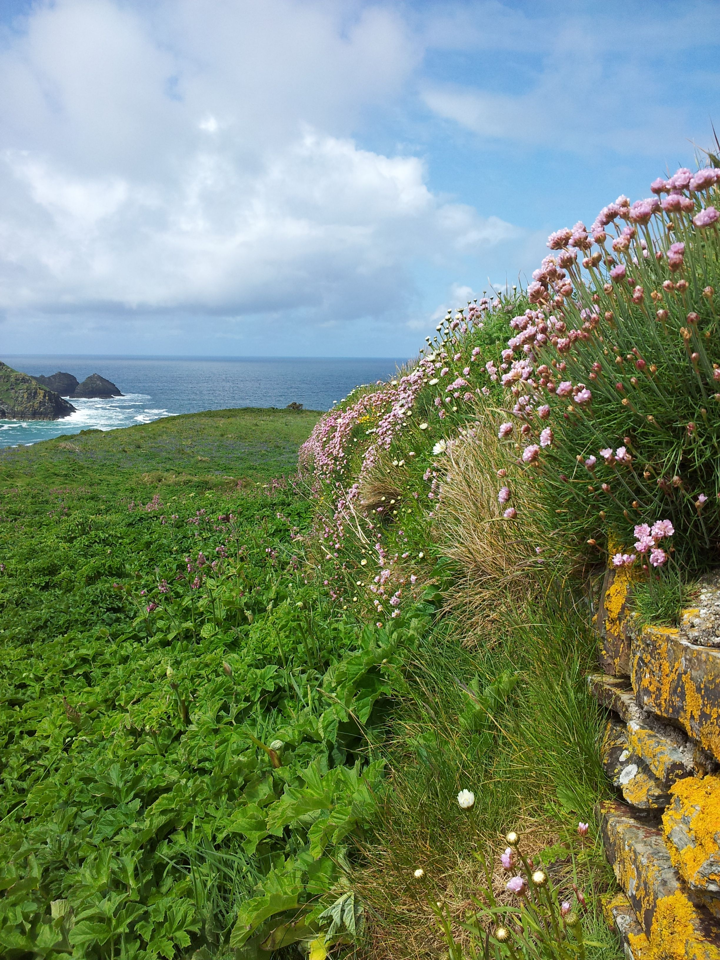 Sea Pinks North Coast Of Cornwall N Anglie Pinterest