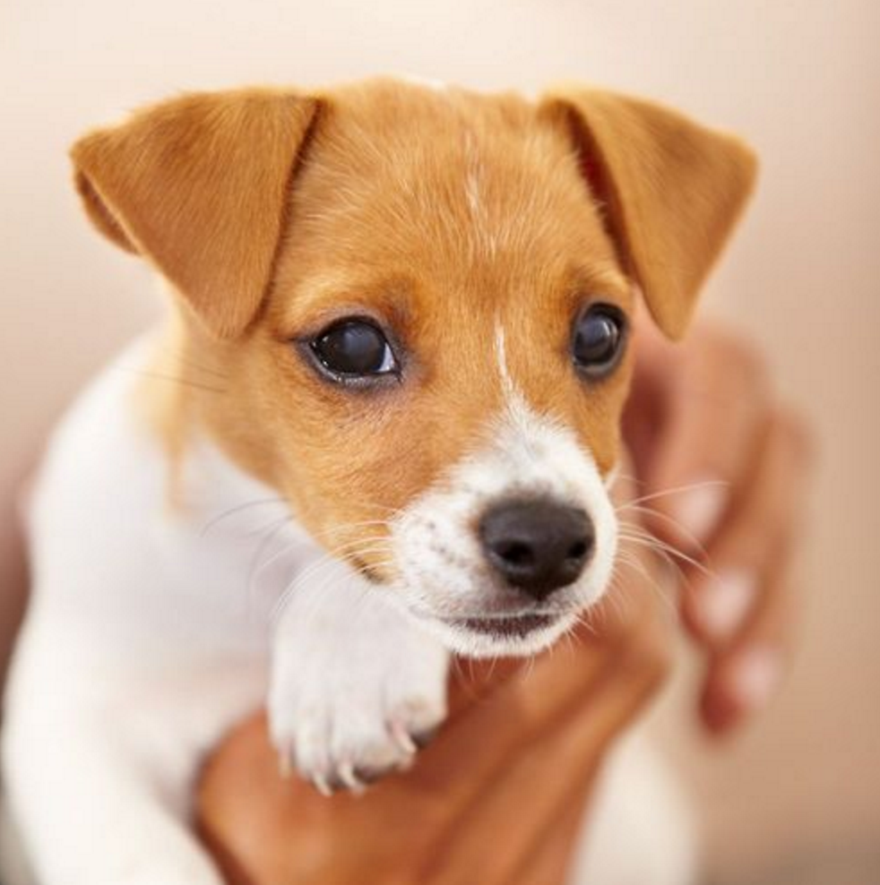 Our Dogs Home Our Dog Store Jack Russell Puppies Jack Russell Terrier Puppies Jack Russell Dogs