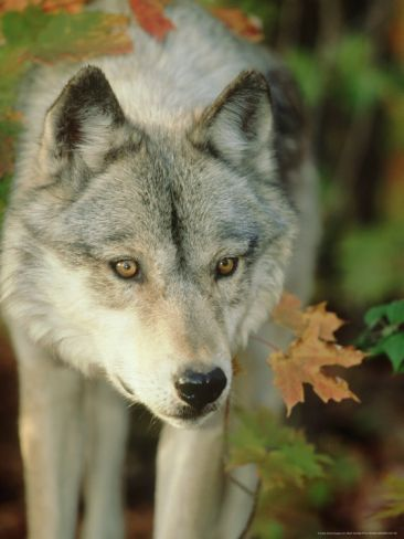 Timber Wolf, Close-up Portrait in Autumn Foliage, USABy Mark Hamblin #autumnfoliage