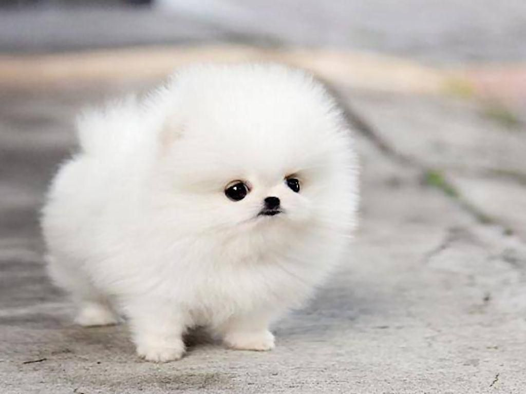 Cute Puppies Wallpapers HD Wallpaper | HD Wallpapers | White pomeranian puppies, Cute dogs ...