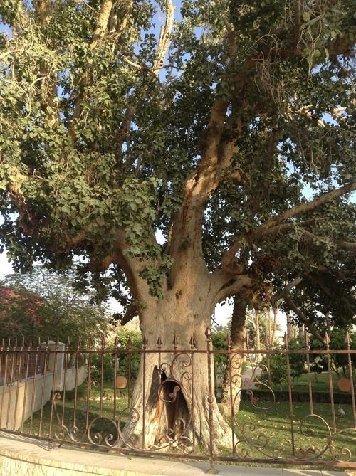Sycamore Tree Jesus Entered Jericho And Was Passing Through It