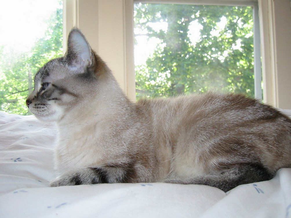 Blue Lynx Point Siamese