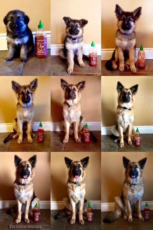 From Pupper To Full Grown Doggo Germanshepherd German Shepherd