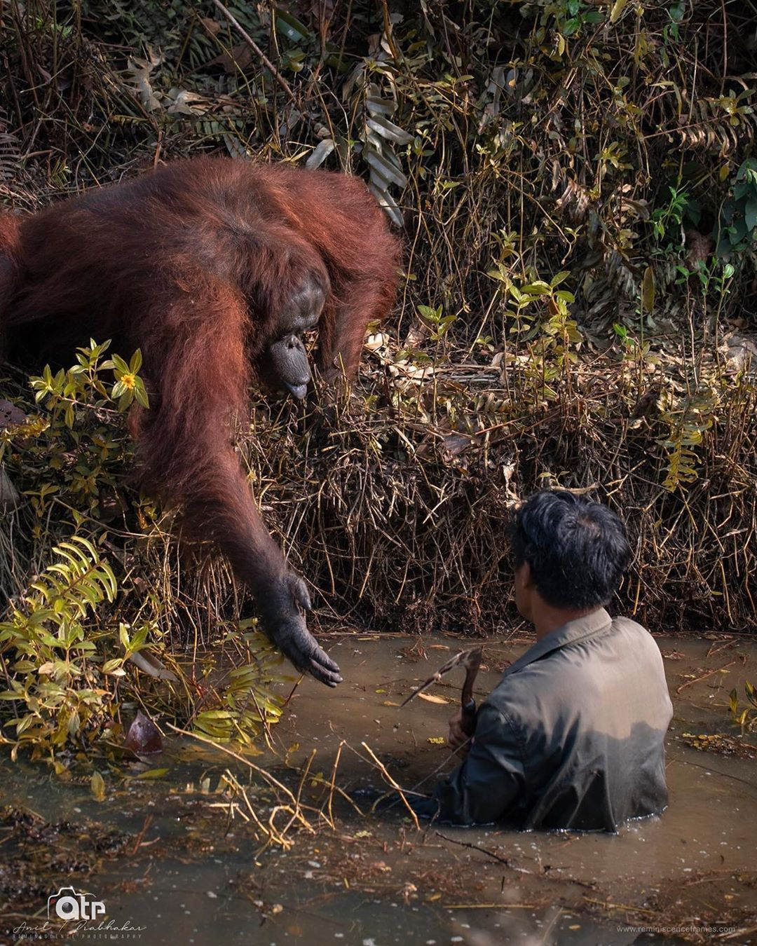 This orangutan saw a man wading in snakeinfested water