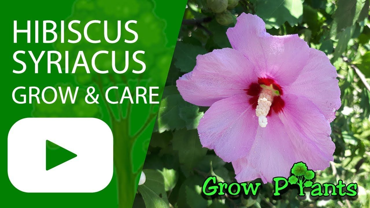 Hibiscus Syriacus Grow Harvest And Eat Plant Information Climate Hardiness Zone Uses Growth Speed Water Requir Growing Hibiscus Hibiscus Plant Plants