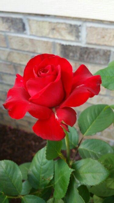 Pin De Carmen Santacruz En Flores Rosas Rosas Rojas Y