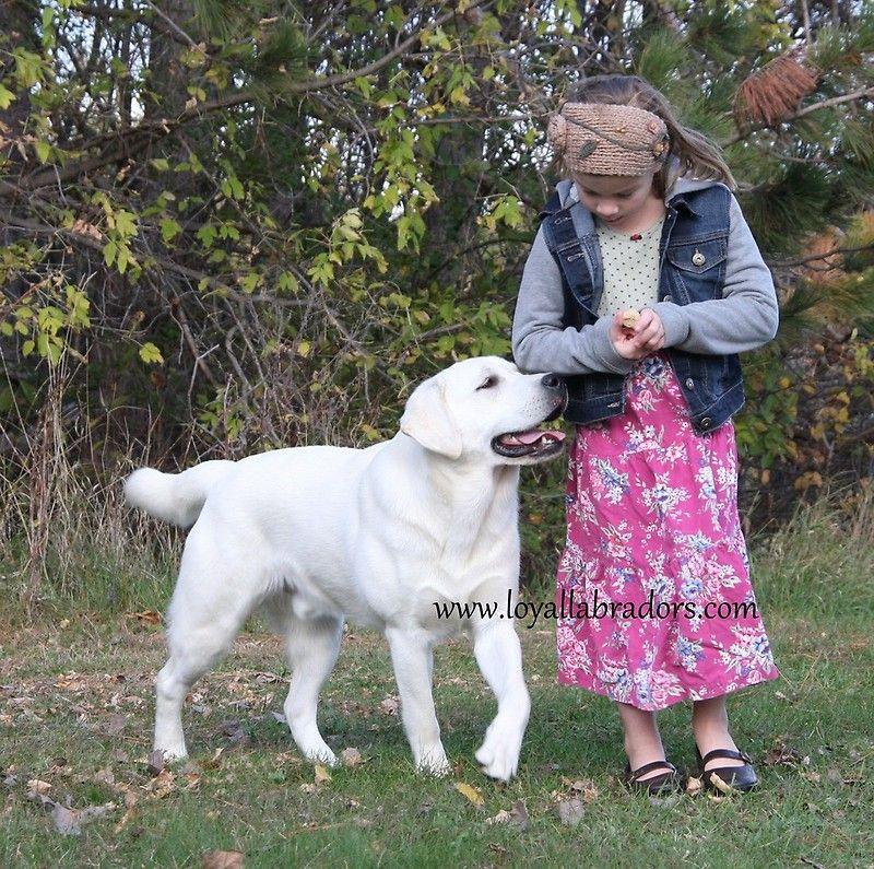English Labradors From Loyal Labradors Art Print By Loyallabradors White Labrador Puppy English Labrador Yellow Labrador Retriever