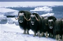 The Wild, Wild Arctic: Musk Ox Adaptations to Battle the Frost ...
