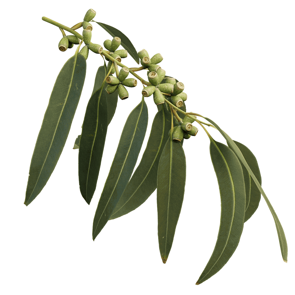 Manna Gum Eucalyptus species, Plant leaves, Eucalyptus tree