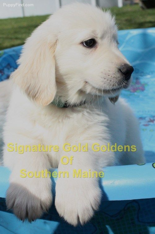 Pin By Signature Gold Goldens English On Akc English Cream Puppies For Sale Puppies Cute Animals Cute Puppies
