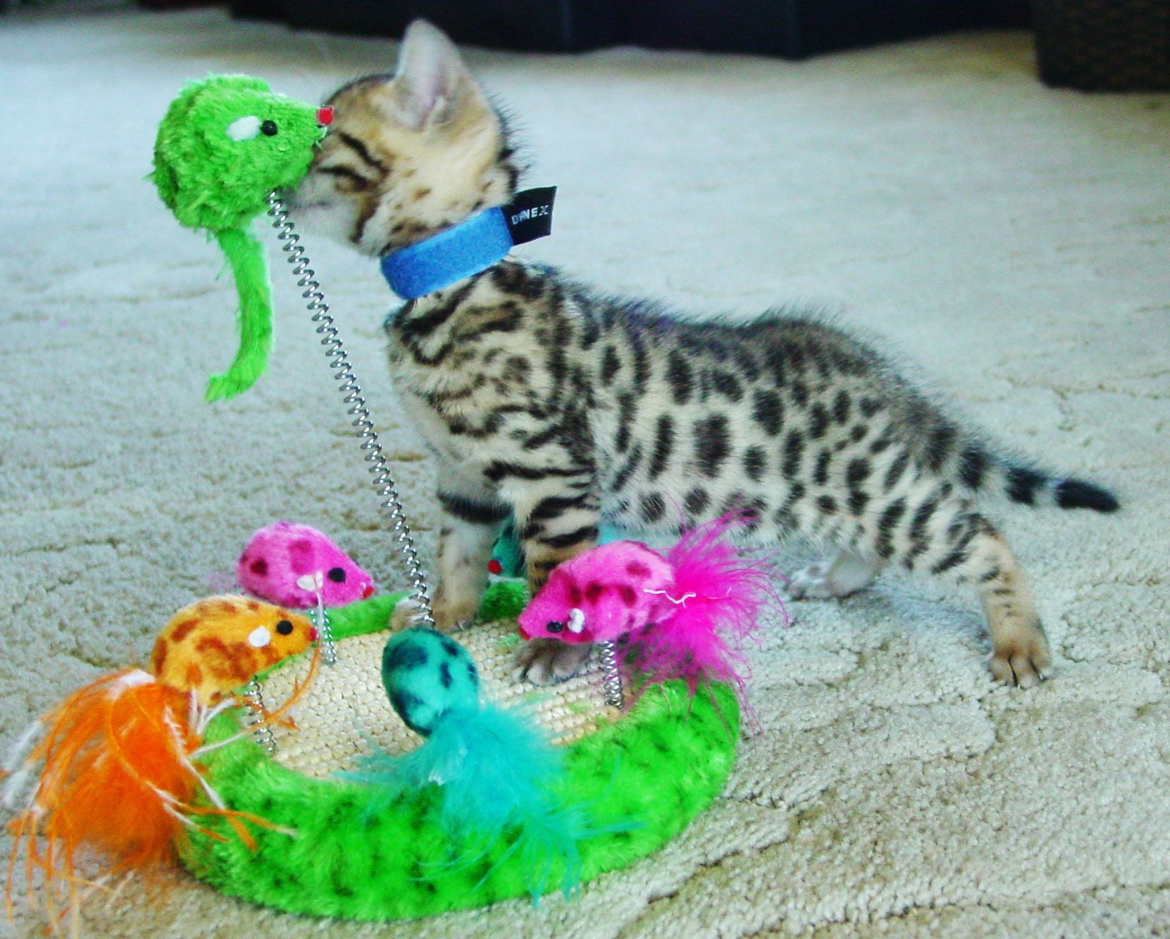 Bengal Cats For Sale In Kansas Bengal Kitten Bengal Cat For