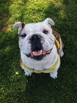 Adopt Suzette On Cute Animals Bulldog Rescue Animals