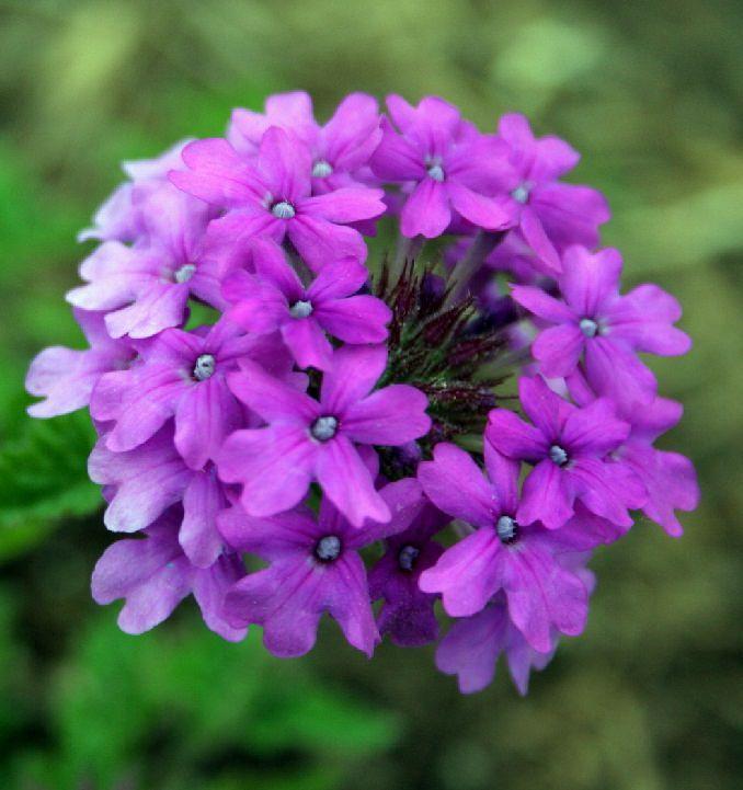 22 Best Flowers For Full Sun Flower Verbena And Gardens