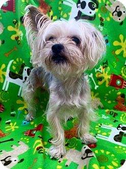 Cleveland Oh Yorkie Yorkshire Terrier Maltese Mix Meet Leafy