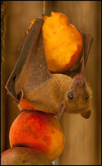 Sweet Little Fruit Bat::Chowing down on some peaches ...