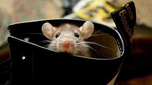 mouse in shoe - Google Search | Cute rats, Animals, Cute animals