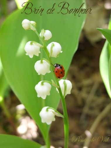 Image De Brin De Muguet 1er mai, brin de bonheur - | freebie2 | lily of the valley, lily