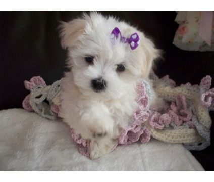 Tiny Maltese Puppy In 2020 Teacup Puppies Maltese Maltese Puppy Toy Dog Breeds