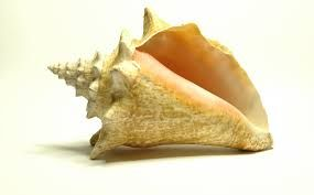 Image result for pictures of seashells