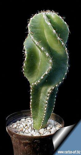 Cactus Caracteristicas Principales