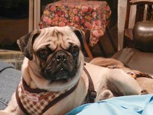 Billy Is An Adoptable Pug Dog In Toronto On Adoption Fee 400