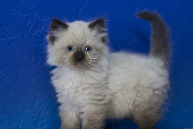 Kittens For Sale Baby Cats Cats Pretty Cats