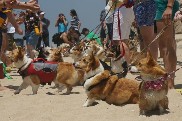 Three Hundred Eighteen Corgis Gathered In One Place Together As