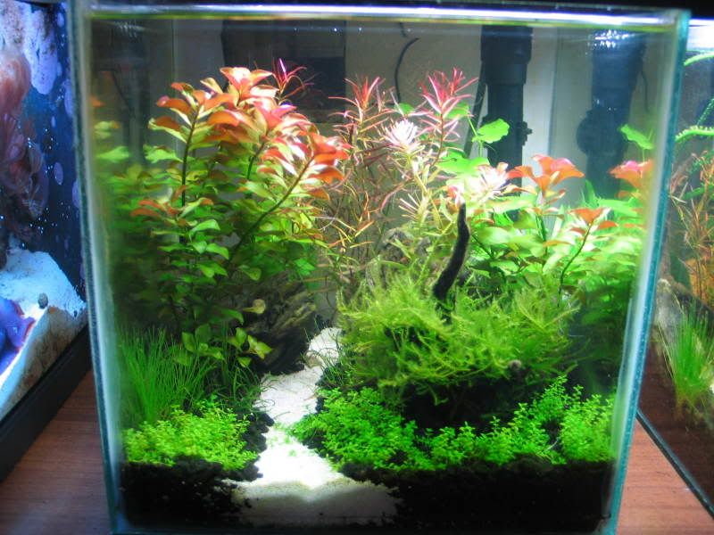 Low tech tank show and tell low tech can be lush too for Fish tank show