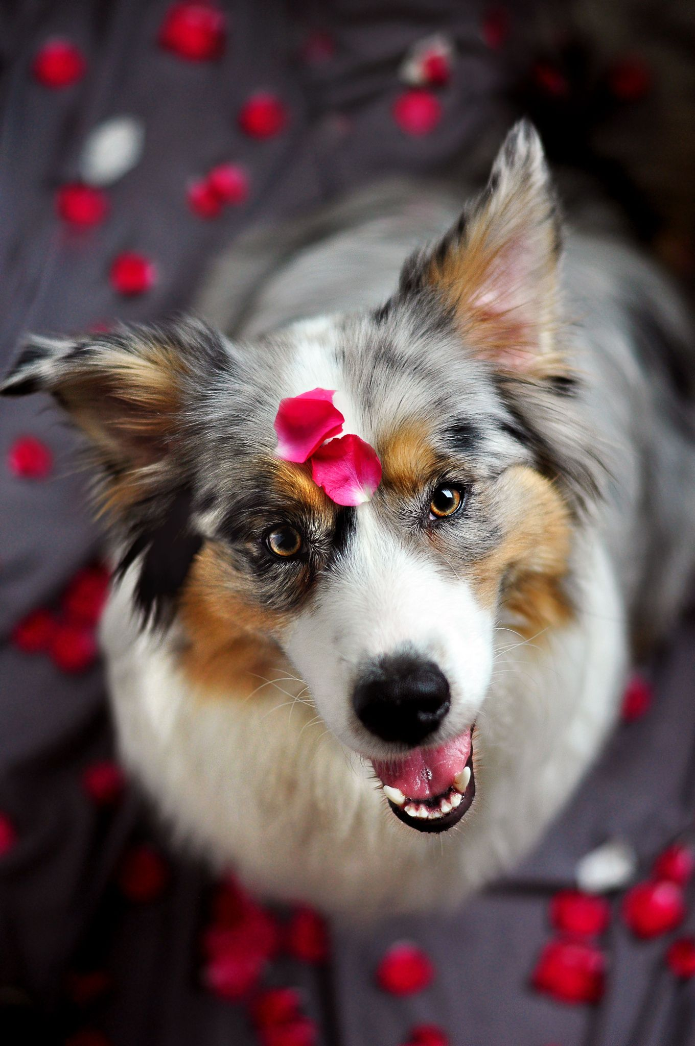 Happy Smile Aussie dogs, Dogs, Dogs and puppies