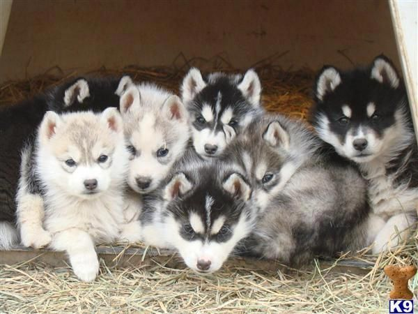 Athletic Siberian Huskies Pup Health Siberianhuskyofinstagram
