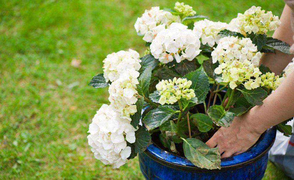 Hortensien Pflanzen Tipps Fur Beet Und Topf Hortensien Garten Pflanzen Und Umpflanzen