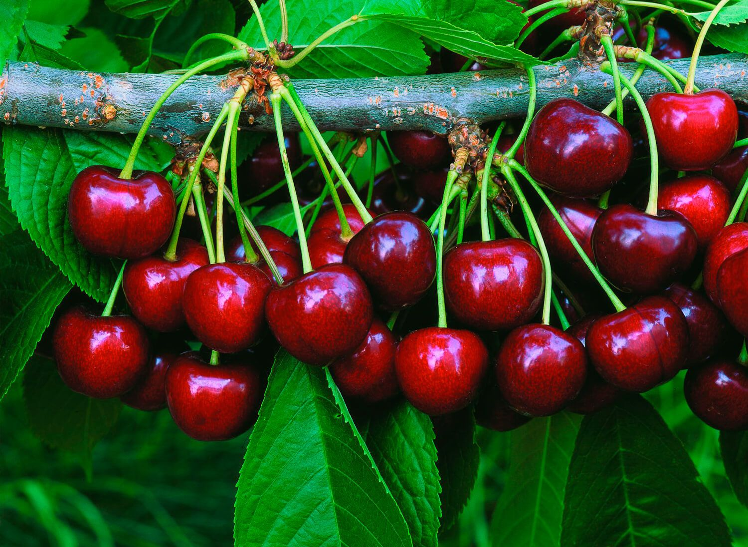 Pin On Cheering For Cherries