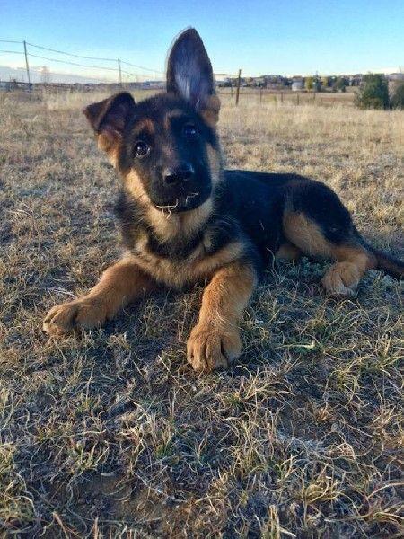 German Shepherd Training The Beginner S Guide To Training Your