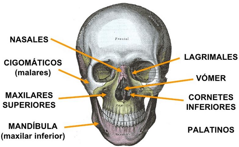 Huesos Cara | Anatomía para el movimiento | Pinterest