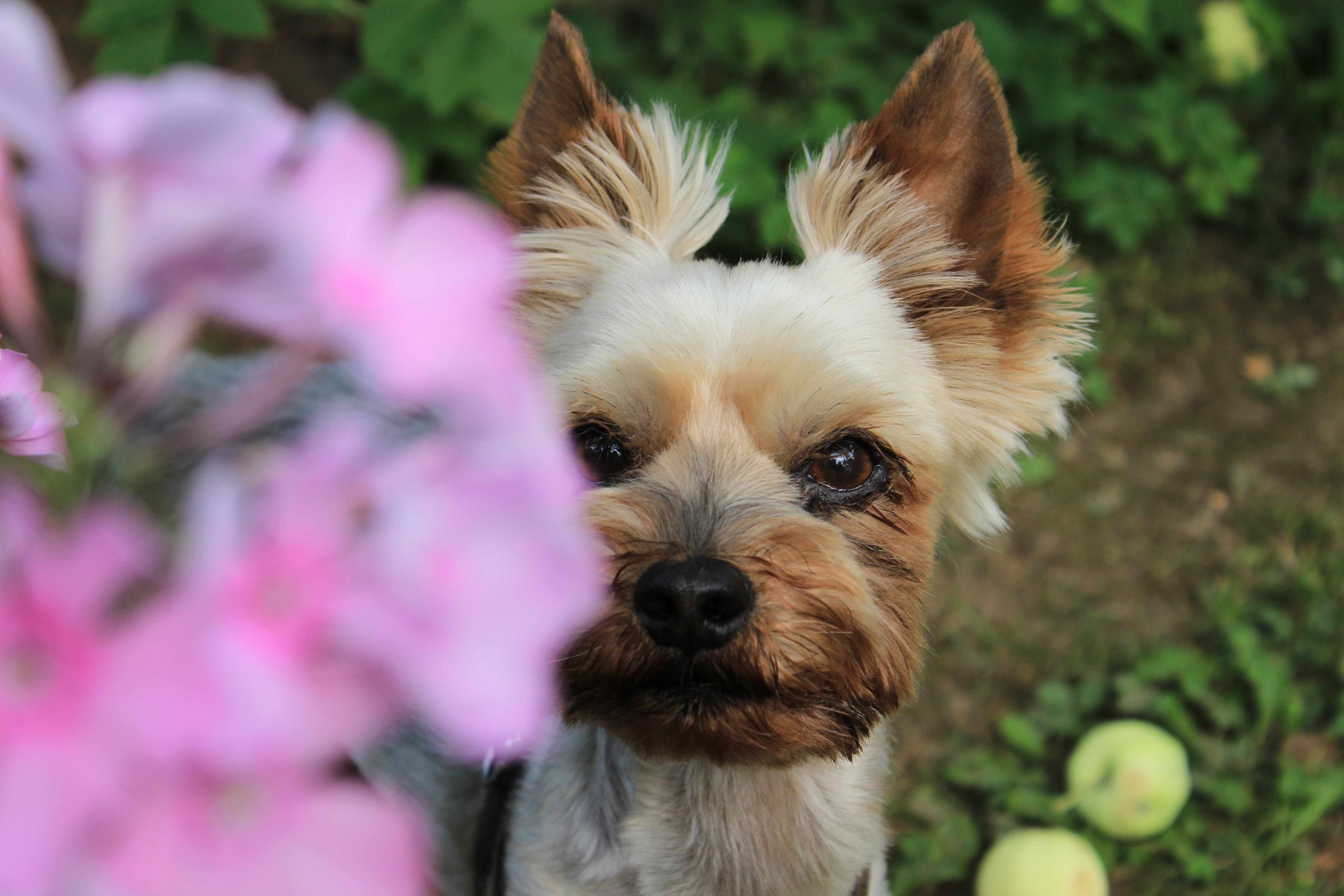 Pin On Teacup Yorkie Puppies